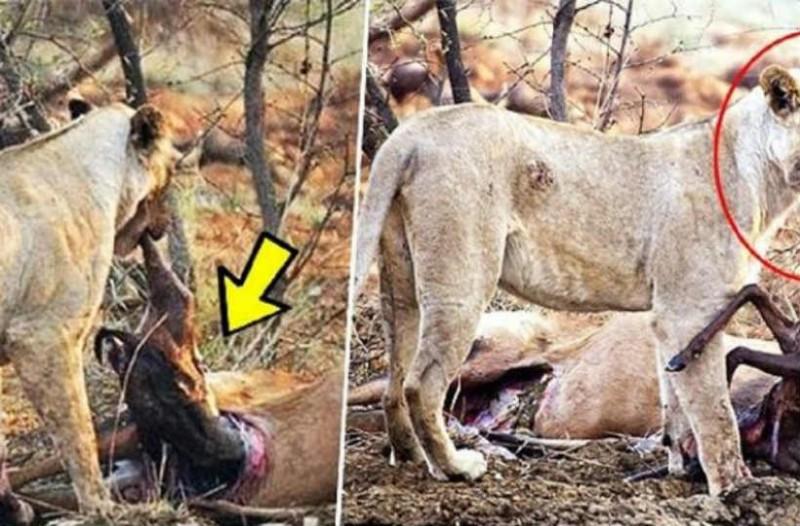 Λιοντάρι τρώει ελάφι που ήταν έγκυος. Αυτό που κάνει στη συνέχεια ξεπερνά κάθε λογική!