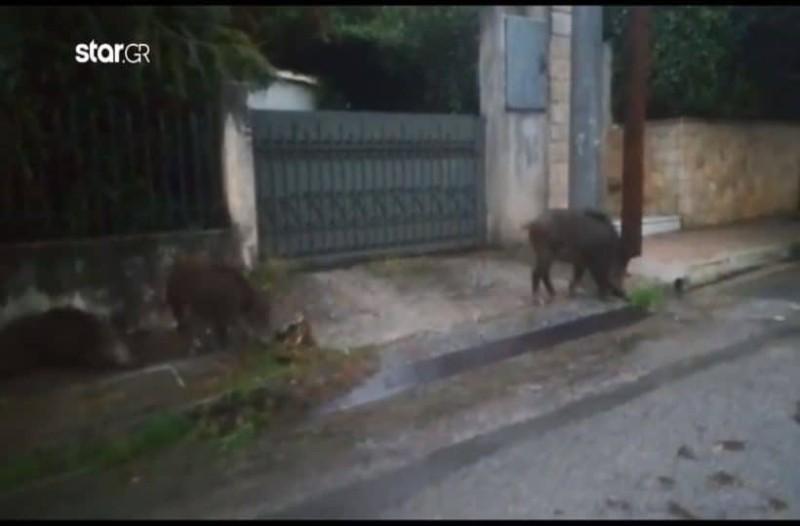 Αγριογούρουνα κυκλοφορούν ανενόχλητα μέσα στην Ραφήνα! (Video)