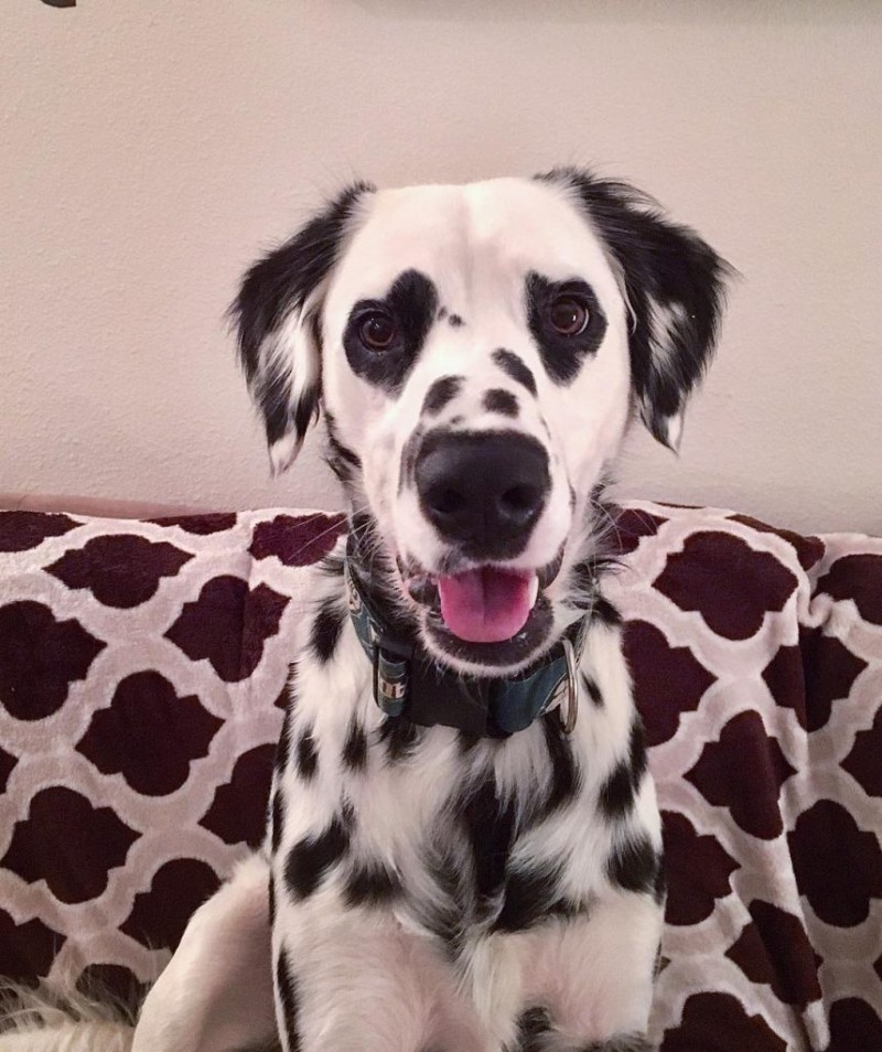 σκύλος δαλματίας