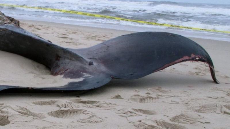 Κερατέα: Ξεβράστηκε νεκρή φάλαινα 15 μέτρων!