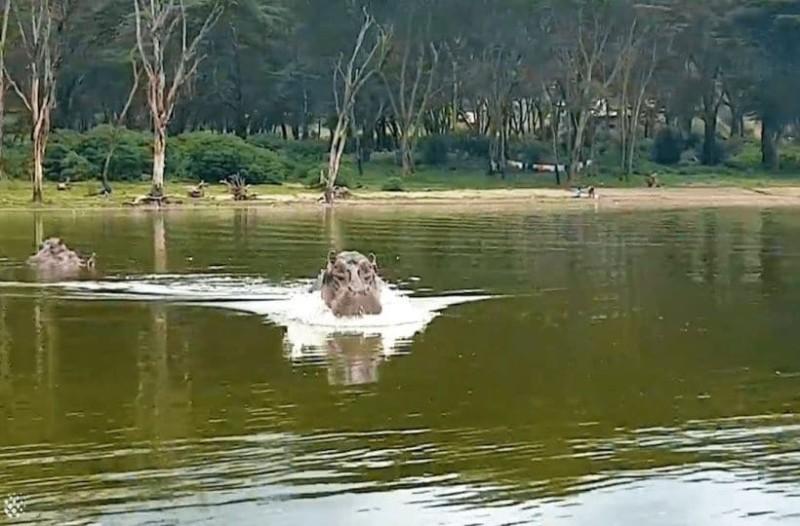 Νευριασμένος ιπποπόταμος καταδιώκει σκάφος: Σοκαριστική η συνέχεια...!