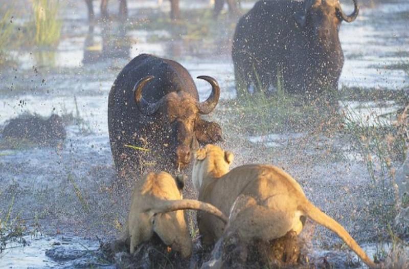 Λιοντάρια μάχη