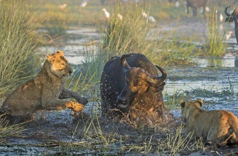 Μάνα βουβάλι λιοντάρια