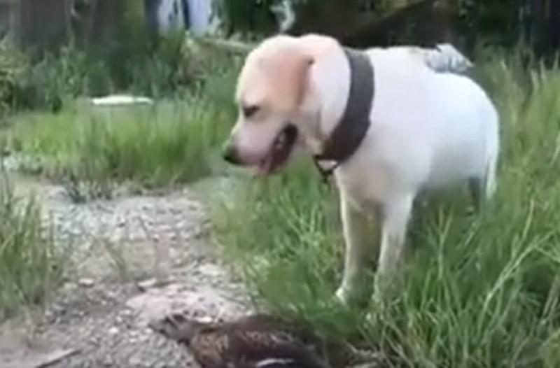 Σκύλος κυνηγάει μία πάπια, η συνέχεια σοκάρει! (Video)