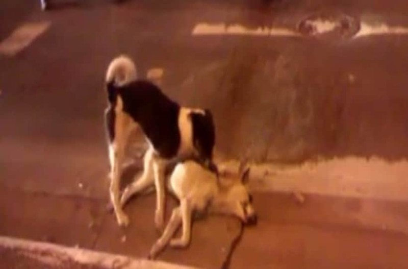Ραγίζει καρδίες αυτός ο σκύλος που προσπαθεί να βοηθήσει τον νεκρό φίλο του!