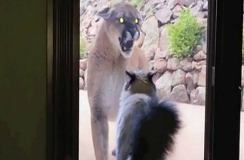 Λιοντάρι πλησιάζει αυτή την γάτα στο παράθυρο! Δευτερόλεπτα μετά γίνεται αυτό που δεν φαντάζεστε! (video)