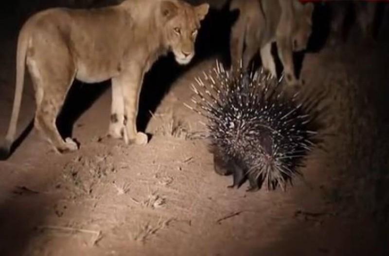 Αυτός ο σκαντζόχοιρος συναντάει ξαφνικά 17 λιοντάρια: Η συνέχεια; Σοκαριστική!