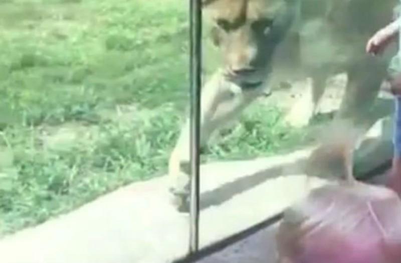 Το λιοντάρι της φωτογραφίας πάει να αρπάξει το παιδί. Αυτό που συμβαίνει στη συνέχεια μας