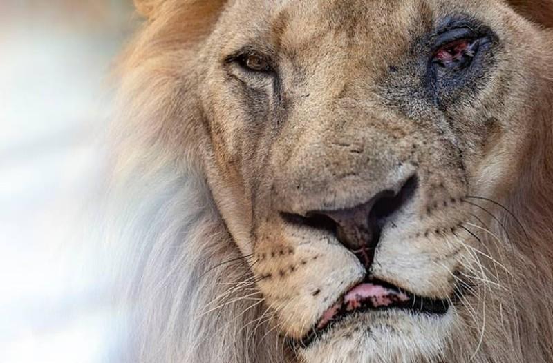 Λιοντάρι με μολυσμένο μάτι αργοπεθαίνει σε ζωολογικό κήπο!