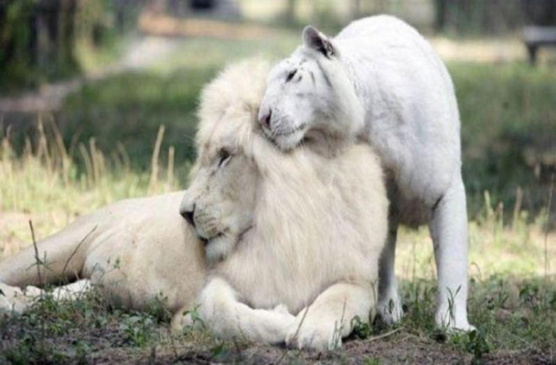 Ένα λευκό λιοντάρι και μία λευκή τίγρης έκαναν μωρά! Δεν φαντάζεστε τι έβγαλαν!