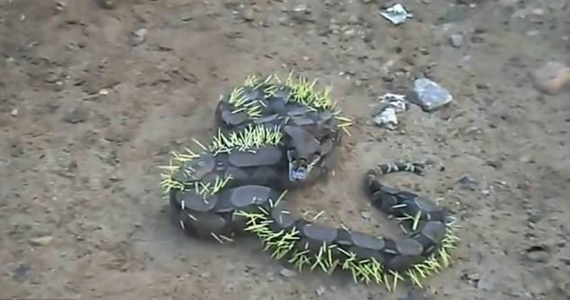 Φίδι έφαγε ολόκληρο σκαντζόχοιρο