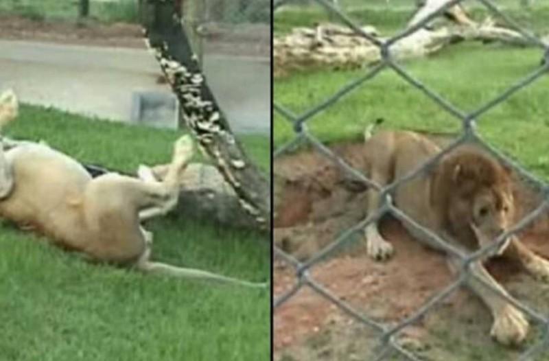Λιοντάρι που ήταν φυλακισμένο σε κλουβί για 13 χρόνια, ελευθερώνεται! Αυτό που ακολουθεί θα σου ραγίζει την καρδιά!