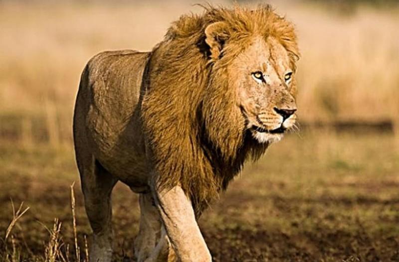 Δείτε για πρώτη φορά το πέος ενός λιονταριού!