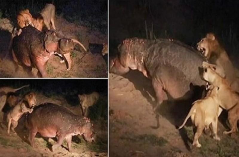Ιπποπόταμος αναζητά νερό και πέφτει πάνω σε 5 λιοντάρια: Η συνέχεια; Σοκαριστική!