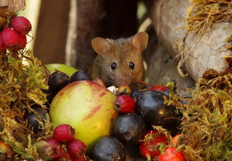 ποντίκι μήλα