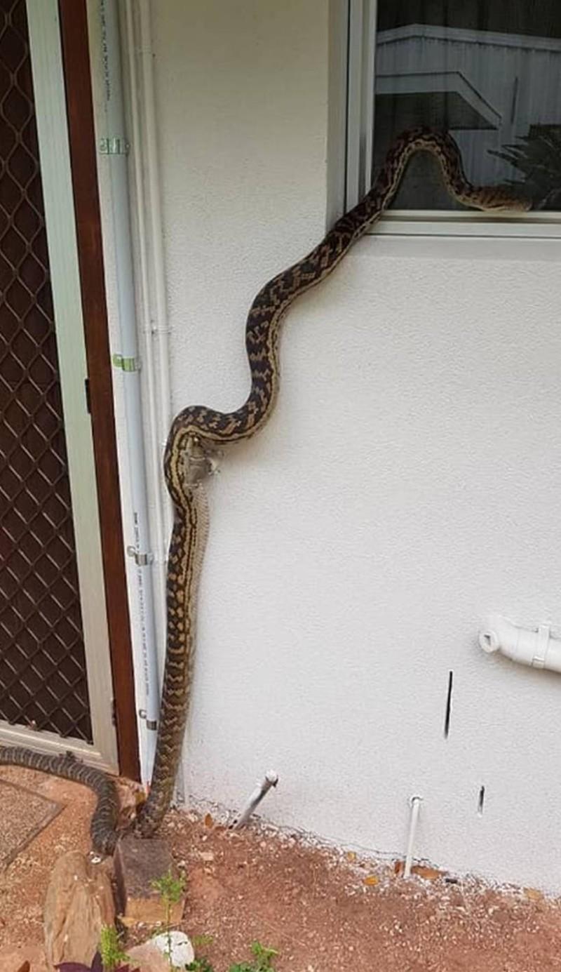 Πύθωνας Αυστραλία φίδι