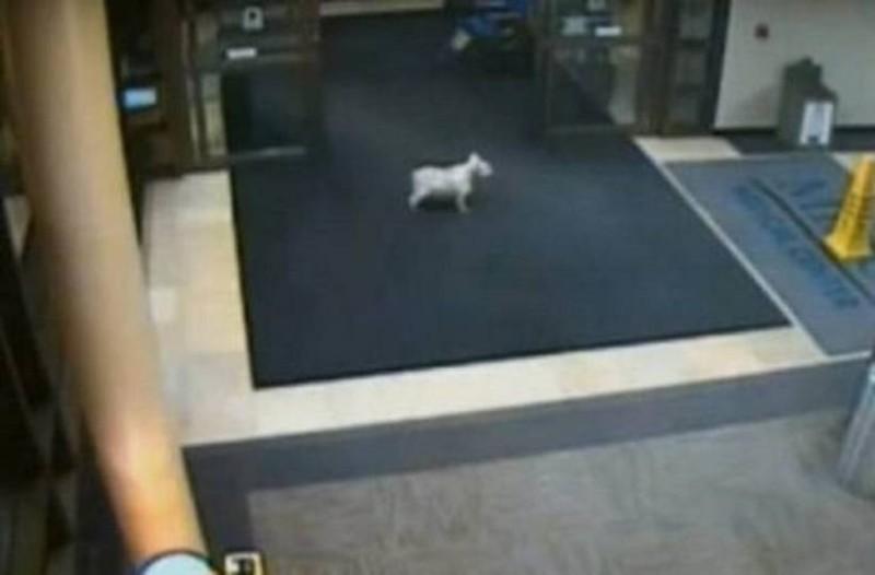 Ο πιο πιστός φίλος: Αυτός ο σκύλος περπάτησε δυο μίλια και μπήκε κρυφά στο νοσοκομείο για να δει την άρρωστη ιδιοκτήτρια του!