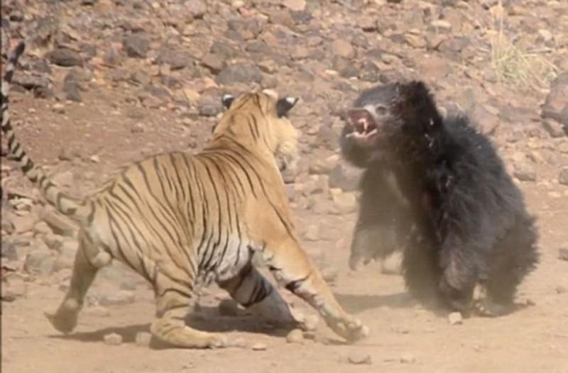 Γιγάντια τίγρης εναντίον μανιασμένης αρκούδας! Επική μάχη μέχρι θανάτου!