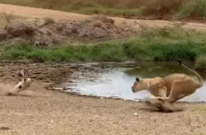 Ατσούμπαλο λιοντάρι ορμάει σε αντιλόπη. Τη συνέχεια σίγουρα δεν την φαντάζεστε!