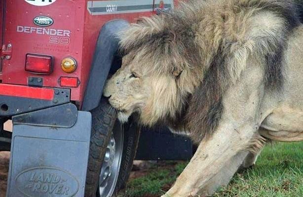 αυτά τα λιοντάρια να πλησιάζουν το όχημά