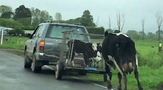 Πήραν τα μωρά αυτής της αγελάδας και τότε ξεκίνησε να τρέχει πίσω από το κλουβί! Θα δακύσετε όταν το δείτε...