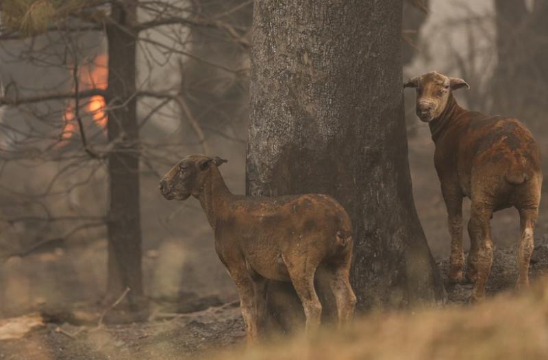 Αυστραλία: Πάνω από ένα δισεκατομμύριο νεκρά ζώα στις φωτιές!