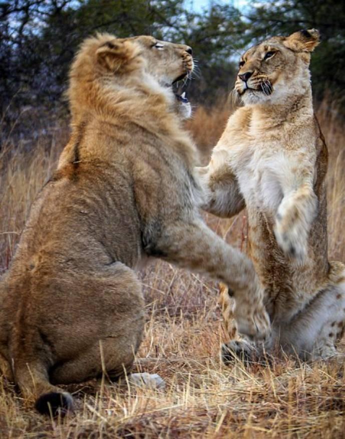 Δάγκωσε την ουρά ενός λιονταριού! Δεν θα πιστεύετε τι ακολούθησε