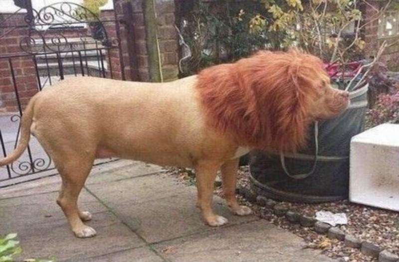 Πήρε τον σκύλο του και τον έκανε λιοντάρι. Ο λόγος; Θα σας αφήσει άφωνους!