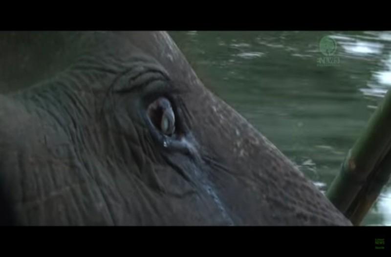 Ελέφαντας 76 ετών ζούσε φυλακισμένος όλη του την ζωή μέχρι που...Θα