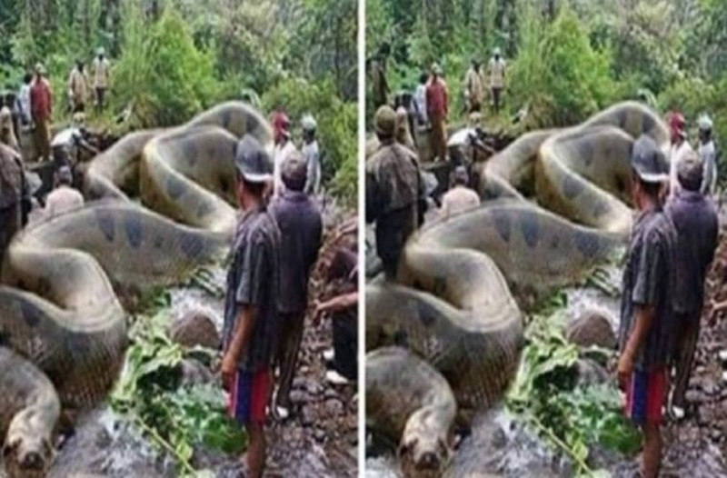 Είναι γνωστό πως τα ανακόντα είναι τα μεγαλύτερα φίδια του πλανήτη, αλλά μόλις δείτε αυτό το «τέρας», δεν θα πιστεύετε στα μάτια σας!