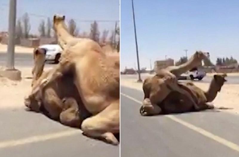 Αυτές οι καμήλες αποφάσισαν να ζευγαρώσουν μέσα στον δρόμο...Τότε συνέβη το αδιανόητο!