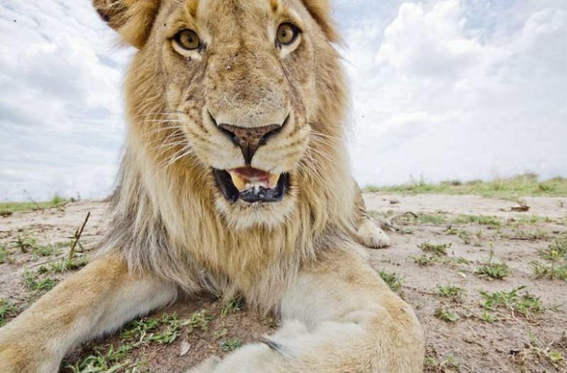 Έβαλαν κρυφή κάμερα για να ελέγξουν το λιοντάρι. Αυτό που είδαν μετά τους άφησε άφωνους!