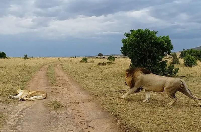 Λιοντάρι την πέφτει σε λέαινα που κοιμάται: Λίγο αργότερα συμβαίνει το απίστευτο!