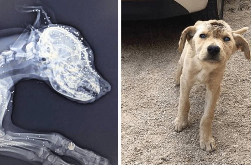 Αυτός ο σκύλος πυροβολήθηκε στο κεφάλι δεκάδες φορές. Μόλις μάθετε τον λόγο θα δακρύσετε...