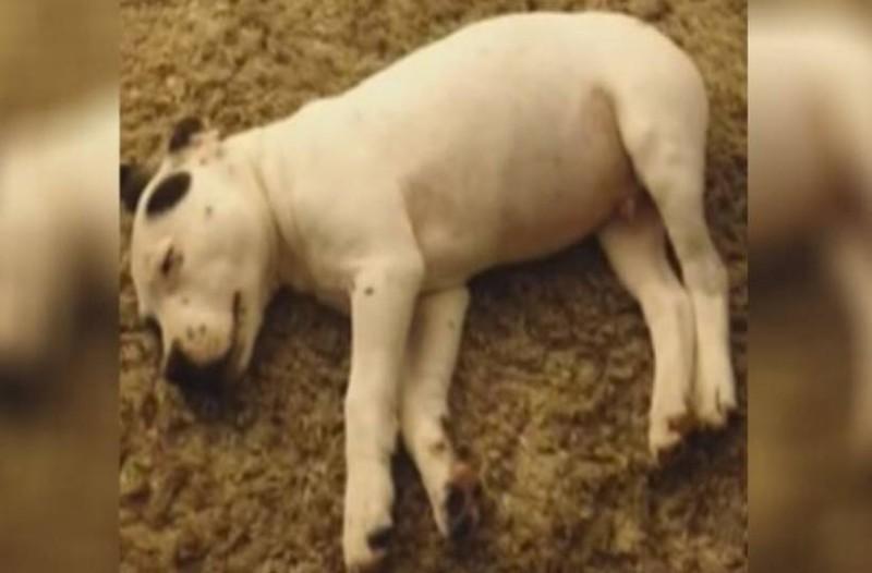 Μικρό σκυλάκι πετάγεται τρομαγμένο, όταν του έφυγε στον ύπνο του μια δυνατή πορδή!