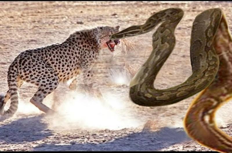 Απίθανη μάχη ανάμεσα σε ανακόντα και τίγρη με πολύ αίμα! Ποιος βγαίνει νικητής; (video)