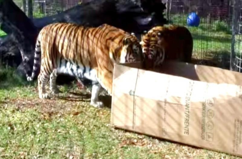 Άφησαν ένα κουτί δίπλα σε αυτές τις τίγρεις στον ζωολογικό κήπο...Η αντίδραση τους όταν το είδαν, σοκάρει!
