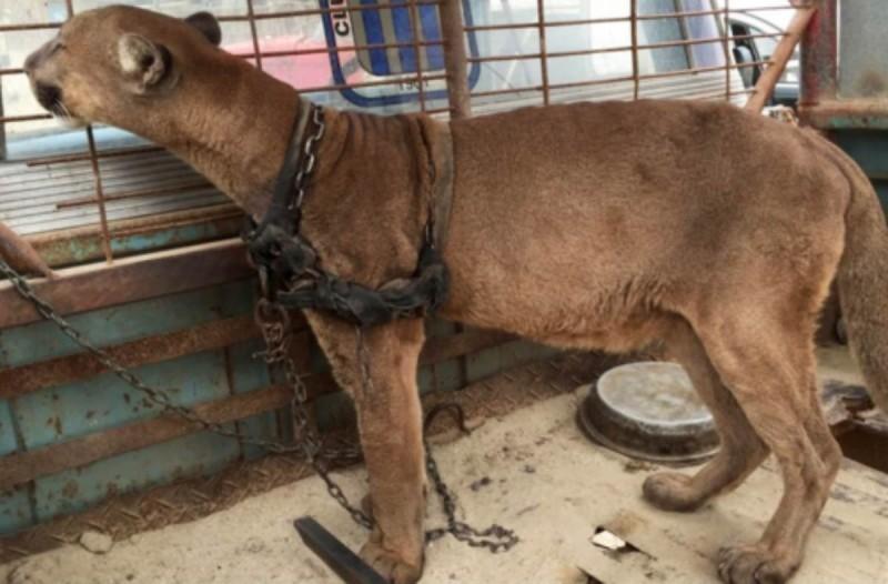 Αυτό το άμοιρο λιοντάρι ζούσε για 20 χρόνια ξεχασμένο σε ένα φορτηγό! Η συνέχεια θα σας κάνει να δακρύσετε!