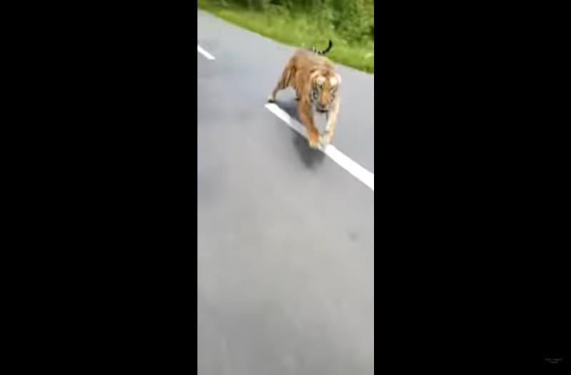 Οδηγούσε με τη μηχανή του... μέχρι που τον κυνήγησε μια τίγρης! Προσπάθησε να ξεφύγει και...