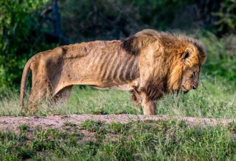 σκελετωμένο λιοντάρι
