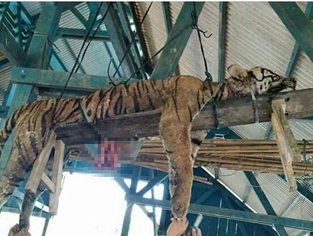 Ξεκοίλιασαν Τίγρη Υπό Εξαφάνιση
