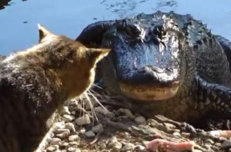 Γάτα εναντίον αλιγάτορα: Ποιος θα επικρατήσει; Δείτε το βίντεο και θα εκπλαγείτε…!