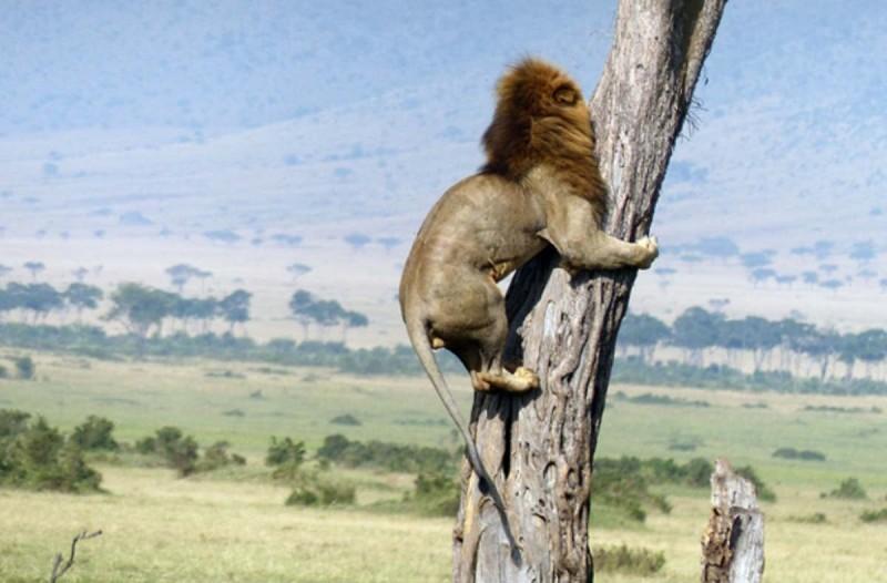 Αυτό το λιοντάρι ανέβηκε πάνω σε δέντρο για έναν απίστευτο λόγο. Θα σας κοπεί η ανάσα μόλις δείτε!