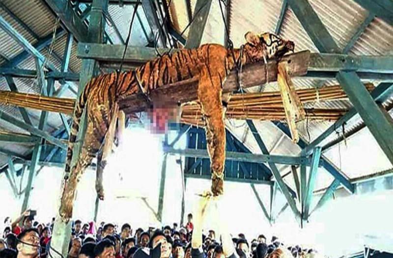 Φρίκη: Χωρικοί ξεκοίλιασαν τίγρη υπό εξαφάνιση γιατί νόμιζαν ότι είχε υπερφυσικές ικανότητες!