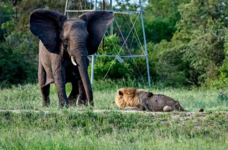 ελέφαντας και λιοντάρι