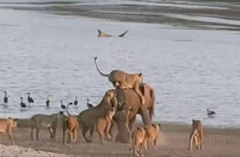 Ένας ελέφαντας εναντίον 14 λιονταριών: Ανατριχιαστική μονομαχία!