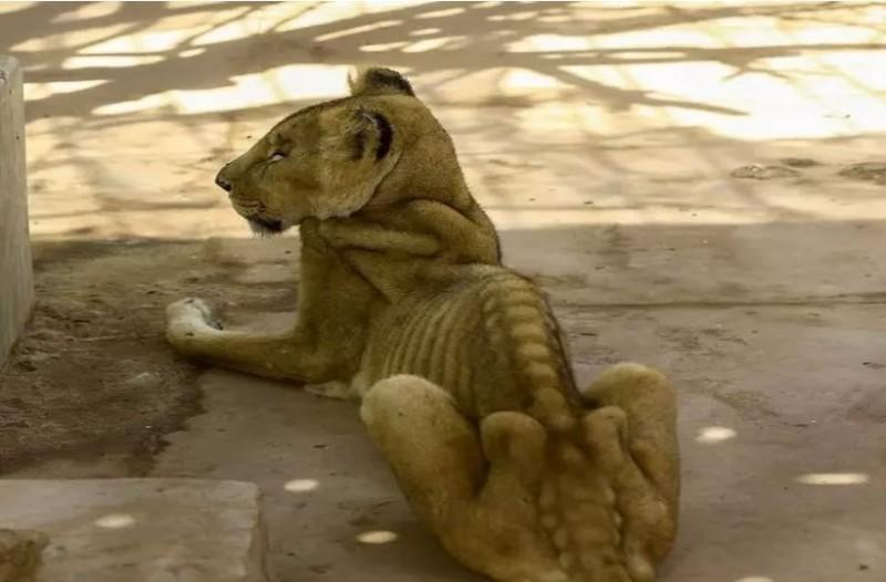 Σκελετωμένα λιοντάρια πεθαίνουν της πείνας σε ζωολογικό κήπο... Οι εικόνες προκαλούν οργή!