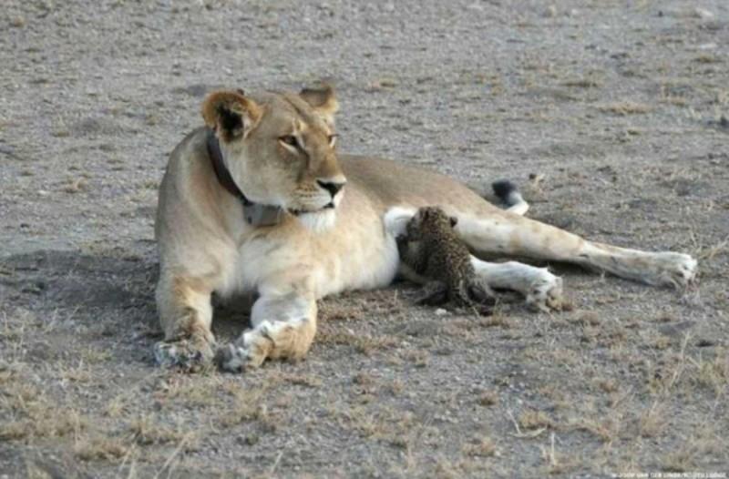 Το ένστικτο της μάνας: Θηλυκό λιοντάρι ταΐζει μωρό λεοπάρδαλη... η συνέχεια θα σας συγκινήσει!