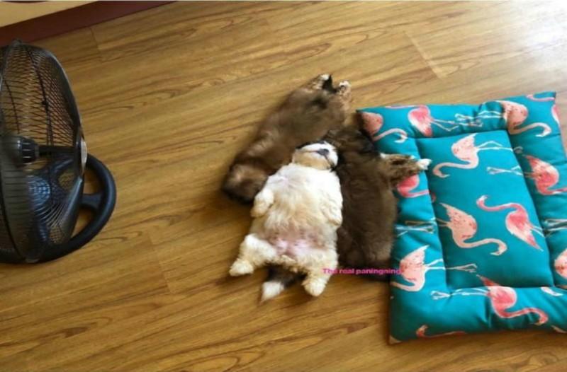 Θα λιώσετε! Αυτός ο σκύλος κοιμάται σαν άνθρωπος! (photo)