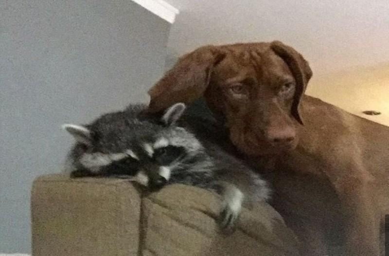 Βρήκαν ένα ρακούν και το πήραν σπίτι τους για κατοικίδιο! Τώρα κάνει τη ζωή ενός σκύλου...